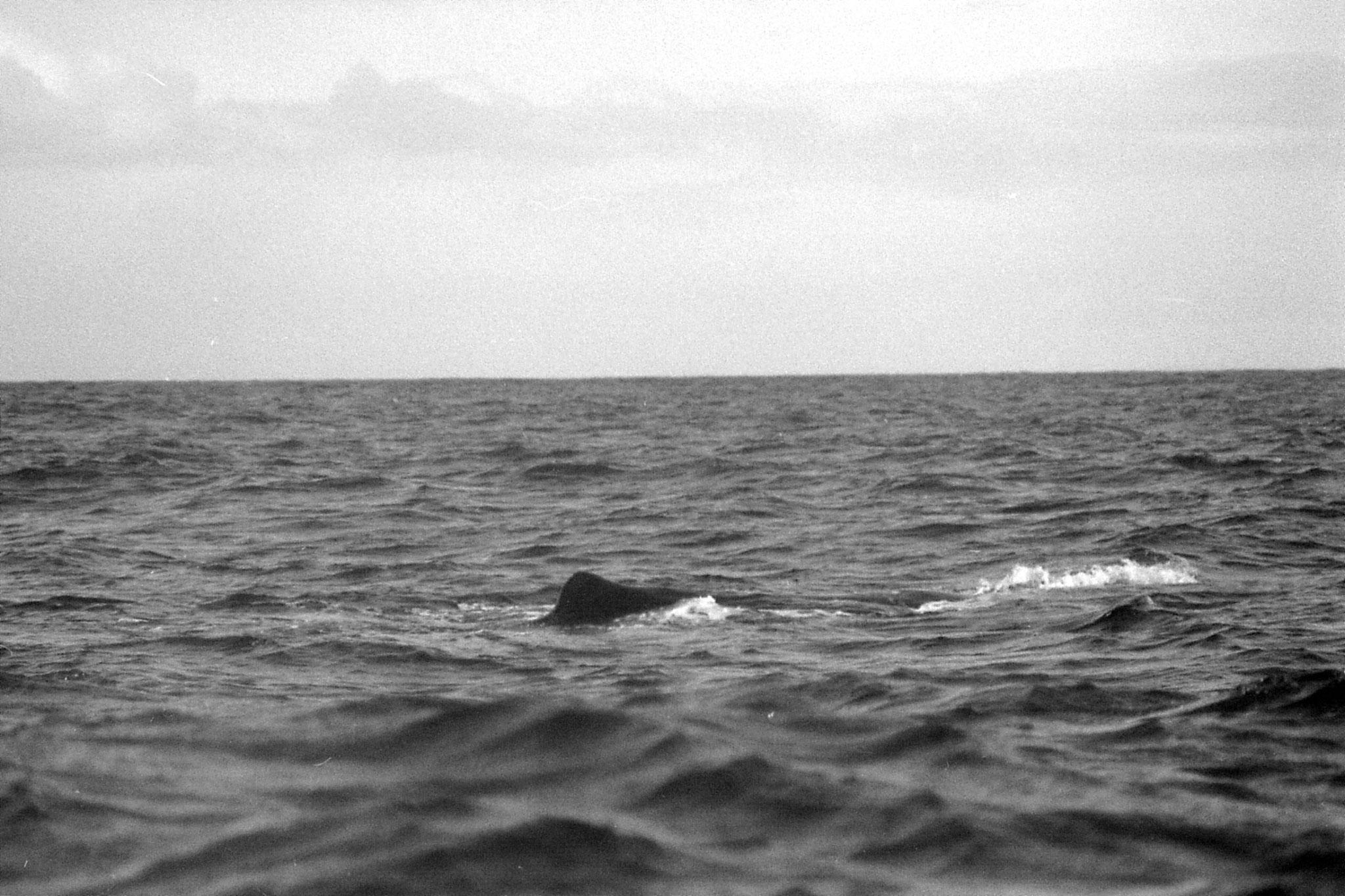 9/8/1990: 18:Kaikoura: sperm whale