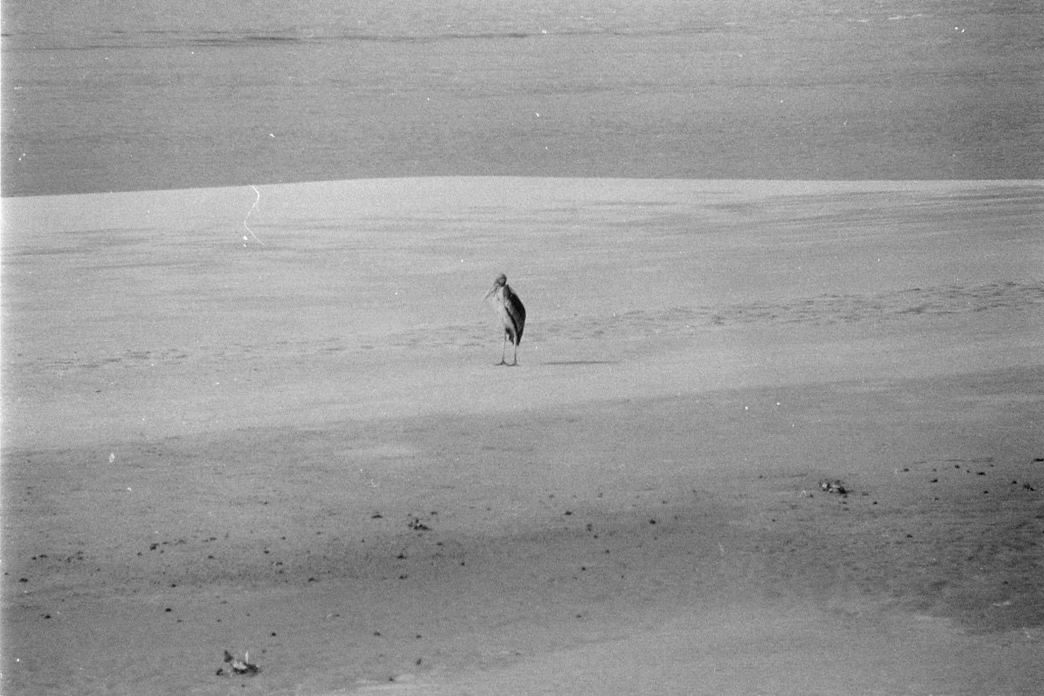 10/4/1990: 30: Gauhati, Brahmaputra River, Adjutant stork