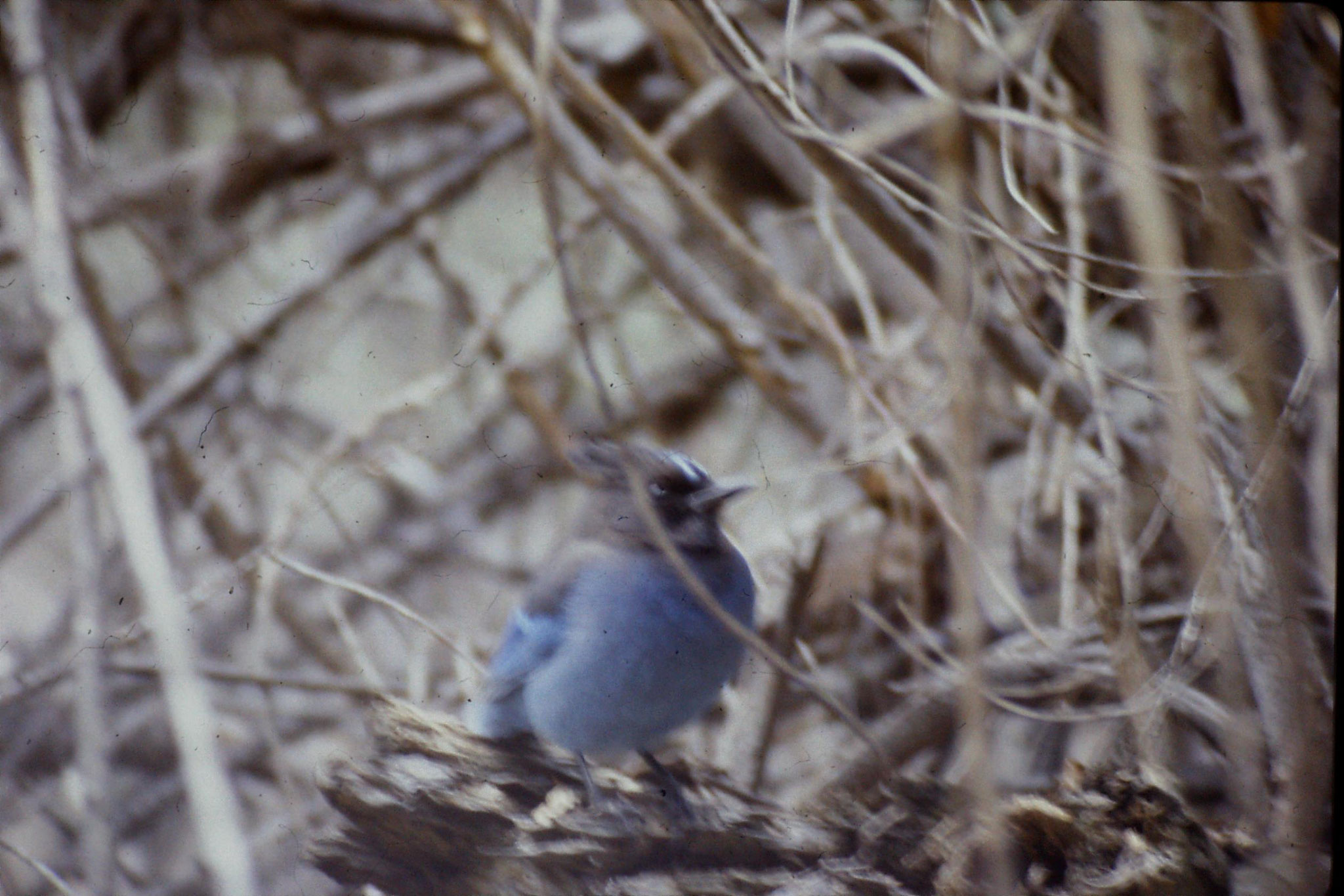16/2/1991: 17: Yosemite Nat Park, Steller's Jay