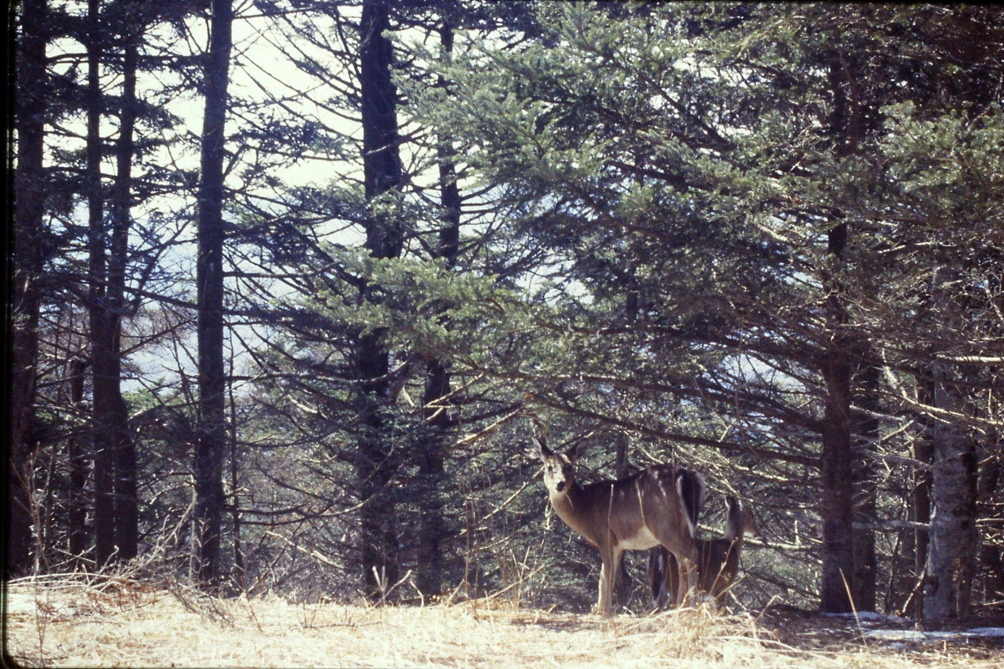 16/3/1991: 19: Mt Mitchell N.C. white tailed deer