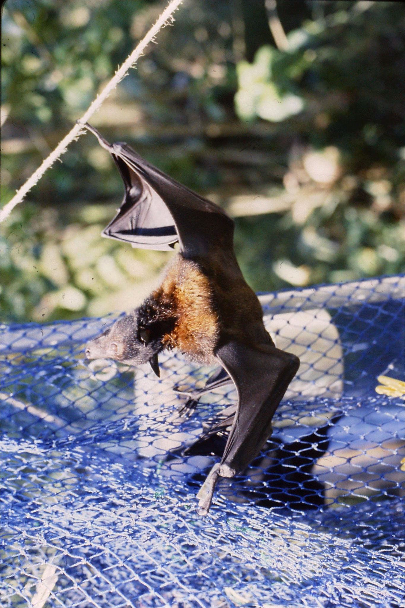 27/10/1990: 23: Cape Tribulation, flying foxes at High and Brigitta's place in Cairns