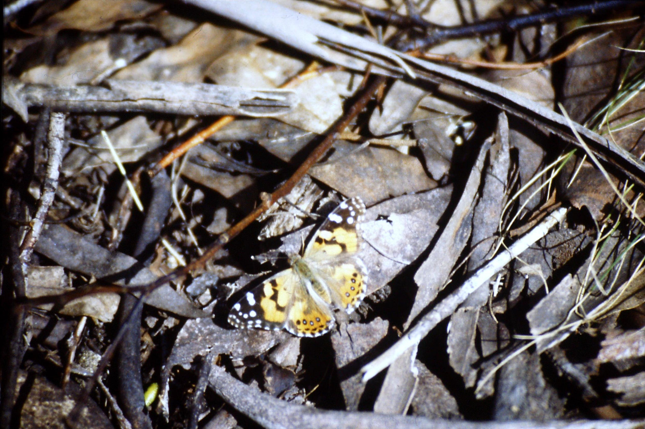 28/9/1990: 0: Mt Buffalo, butterfly