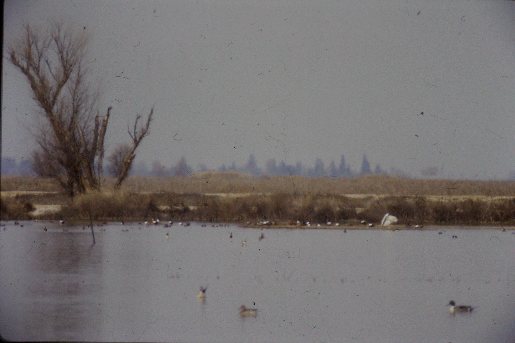 15/2/1991: 12: Sacramento NWR
