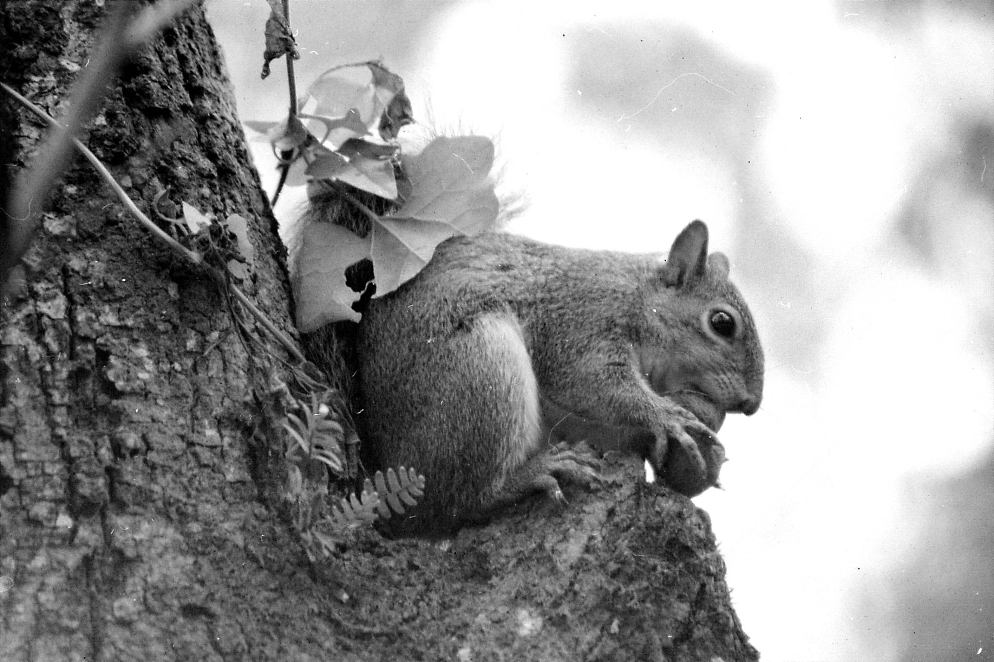 2/1/1991: 31: squirrel with nut