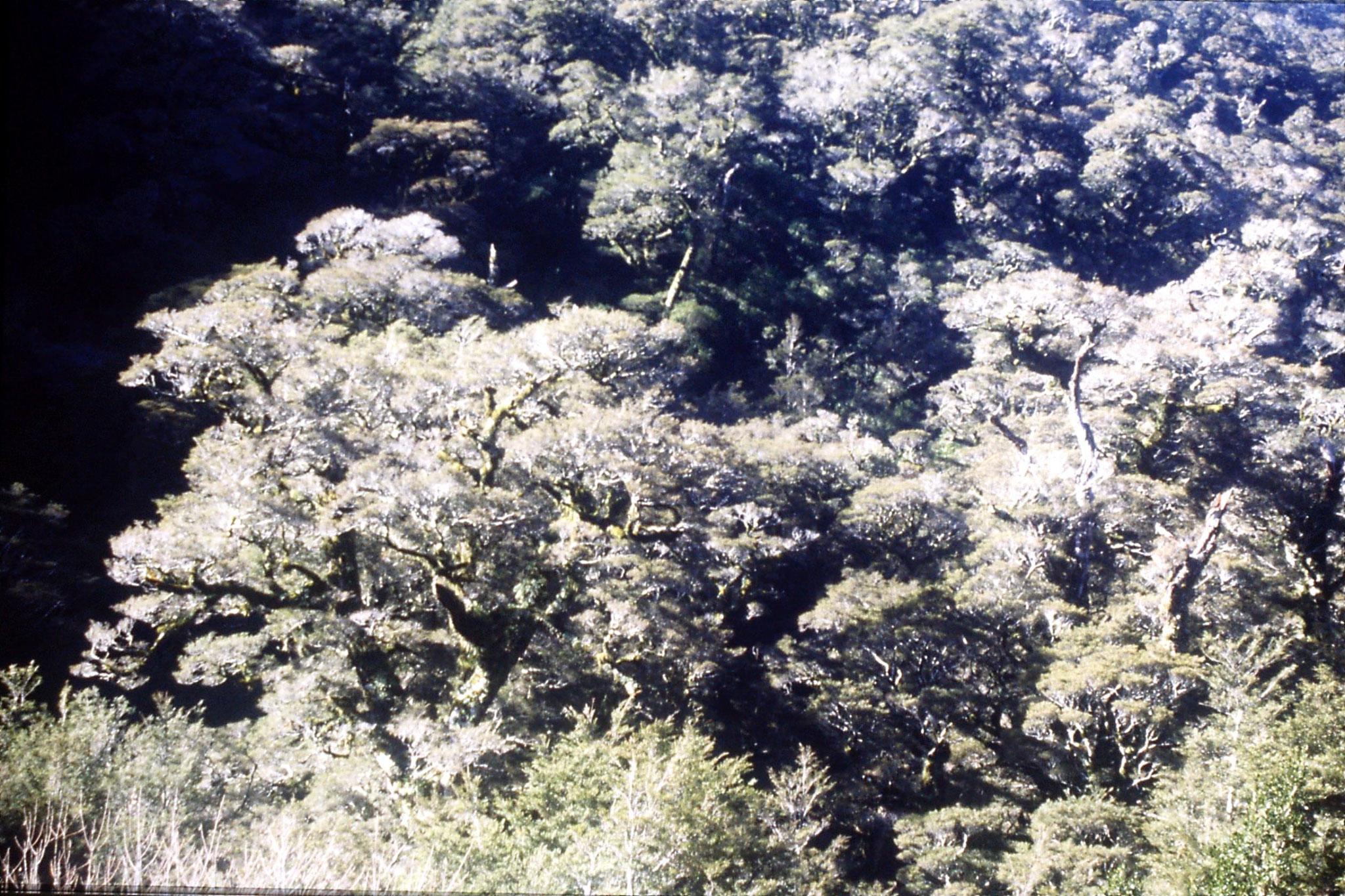 15/8/1990: 3: trees at 'Divide' alt. 531m