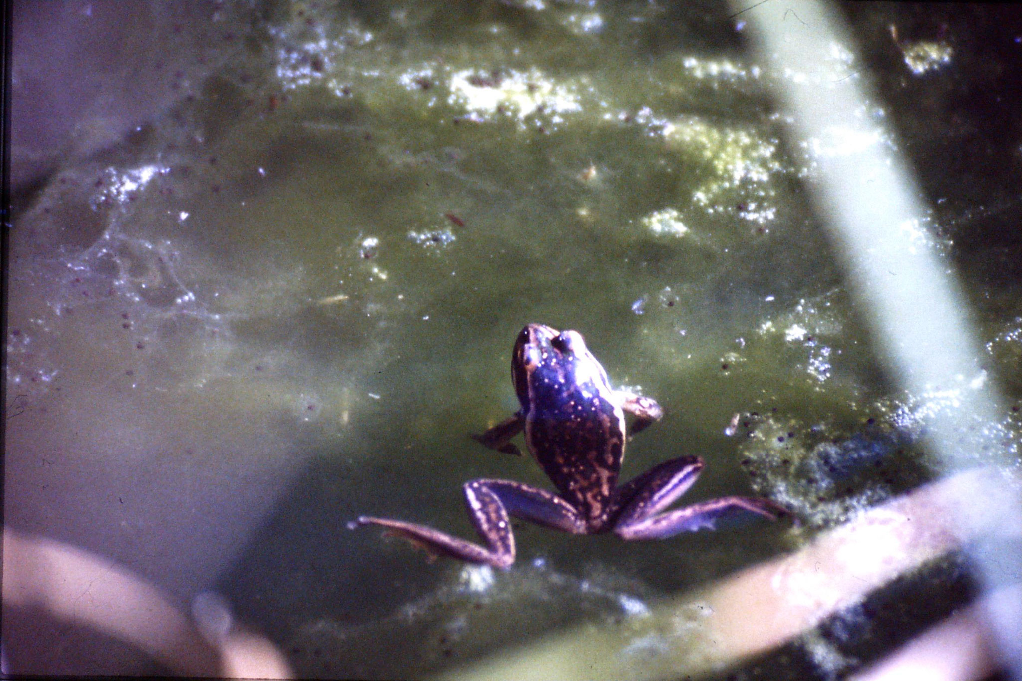 31/8/1990: 29: Waimangu frogs