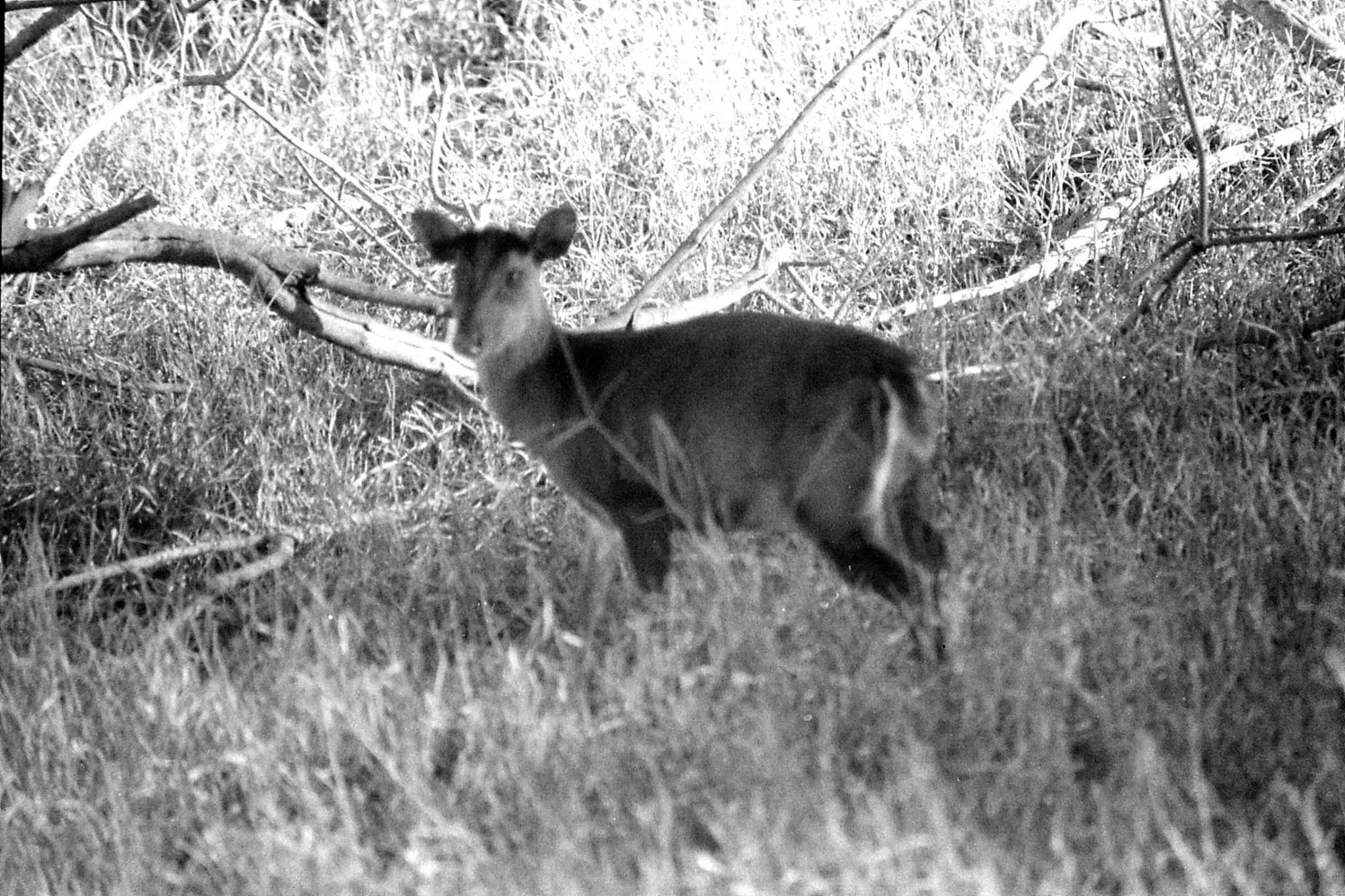 9/3/1990: 20: Nagarahole barking deer