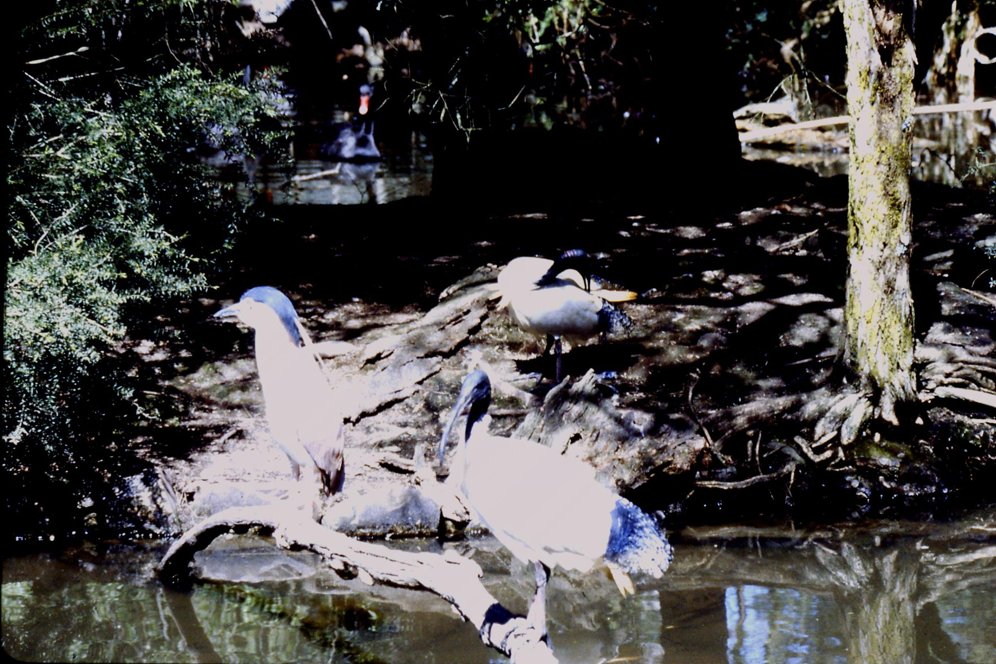 4/10/1990: 13: Healesville  Sanctuary, night heron