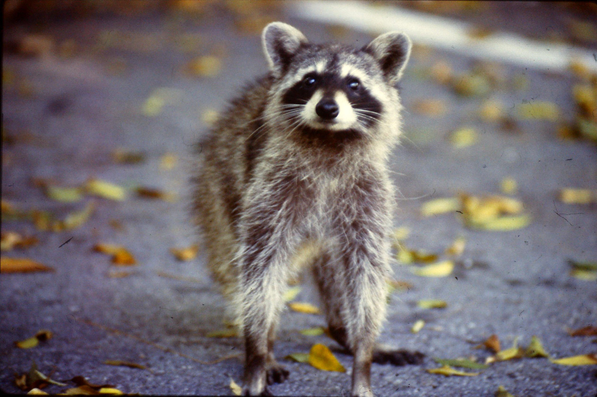 8/3/1991: 0: Key Biscayne raccoon