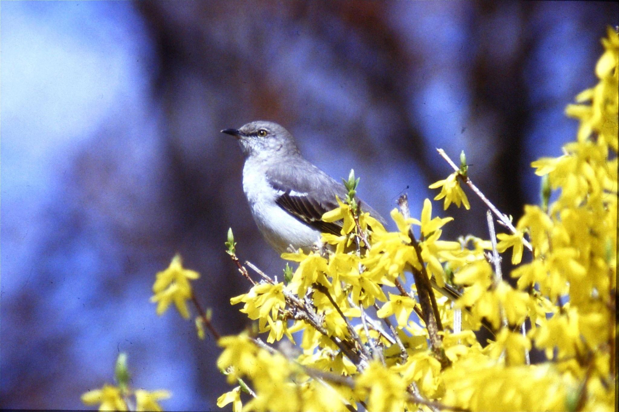 26/3/1991: mocking bird