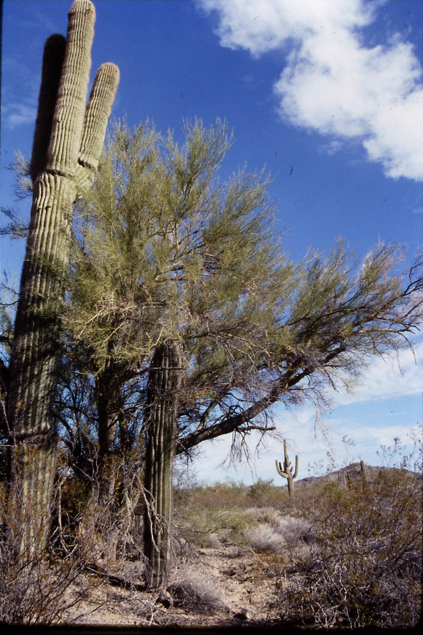 11/12/1990: 7: Saguaro cacti (10-20ft) between Salome and I-10