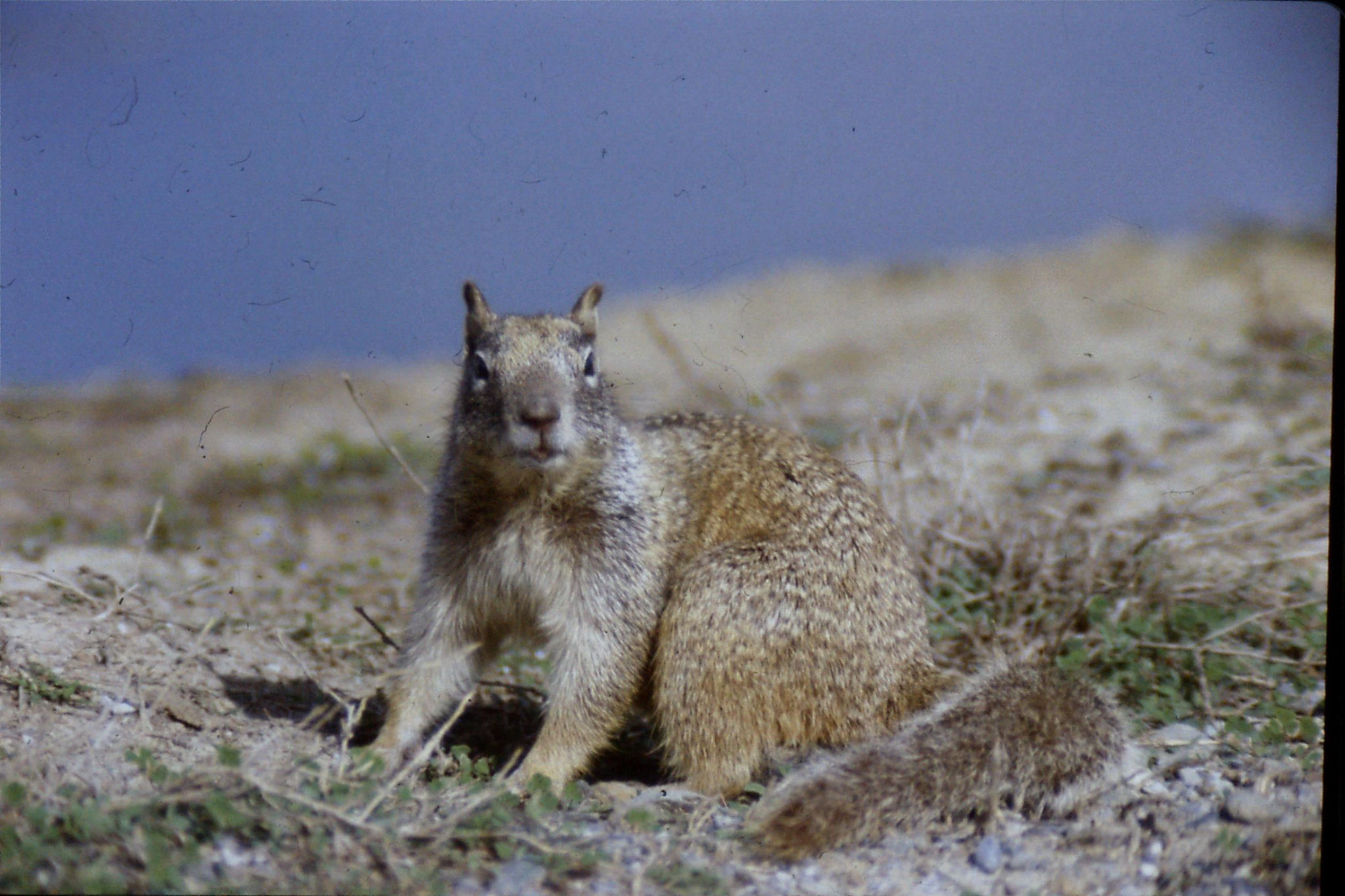 15/2/1991: 10: Sacramento NWR, Beechy Ground Squirrel