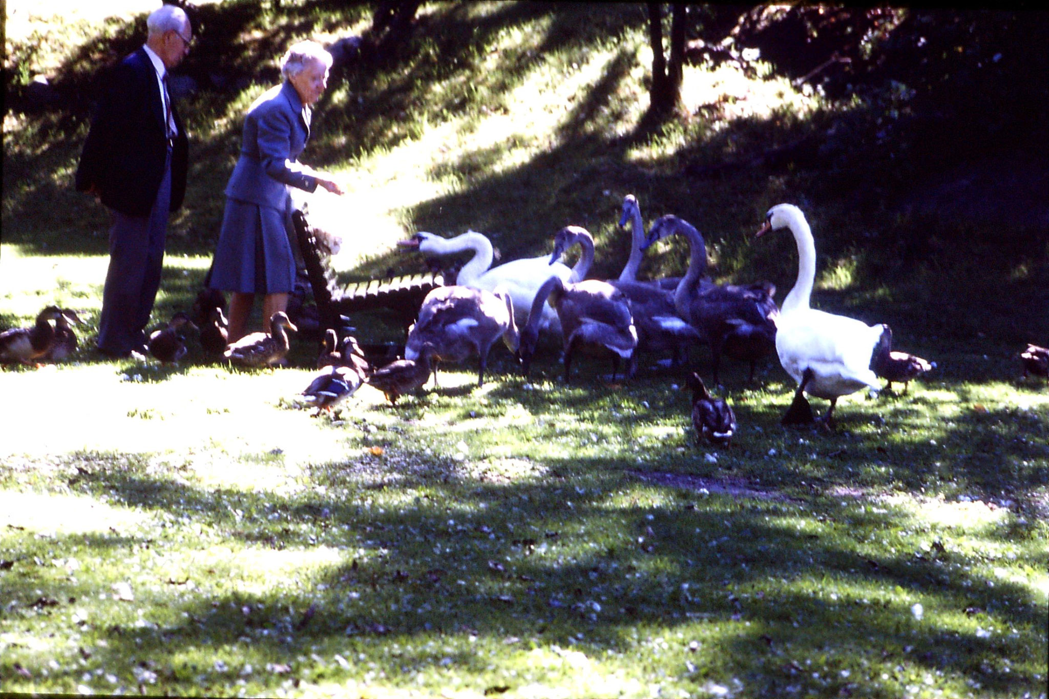 7/9/1988: 30: woman feeding swans