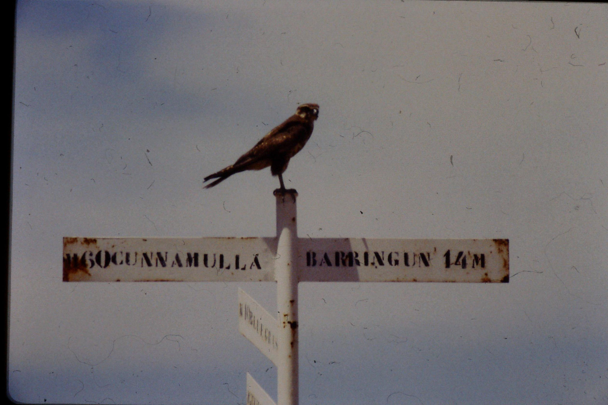 2/11/1990: 14: Brown falcon