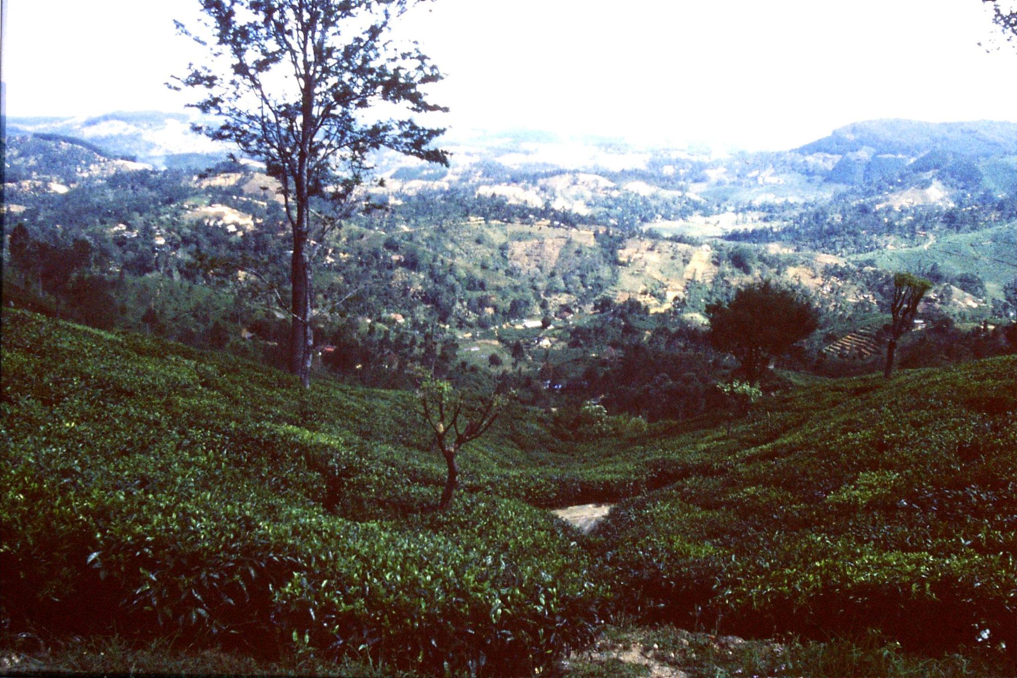1/2/1990: 15: Haputale tea plantation
