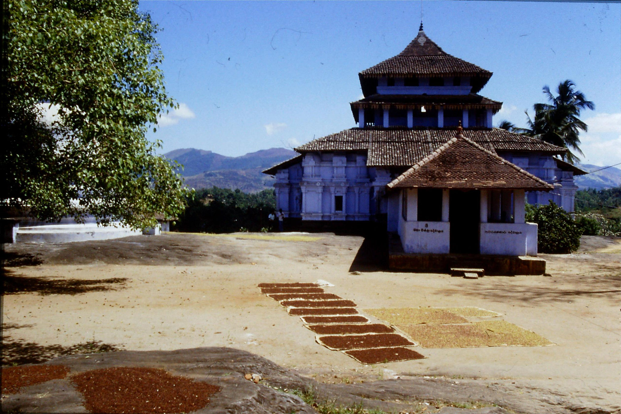 5/2/1990: 20: Outside Kandy Lankatilaka Temple, cloves drying