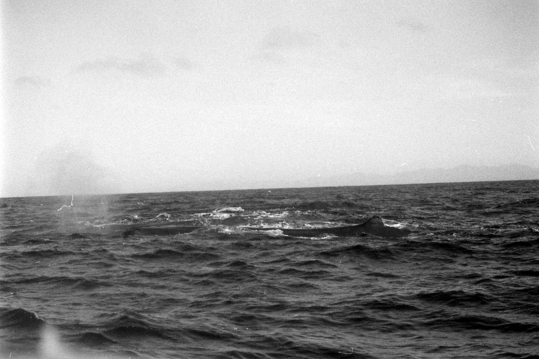 9/8/1990: 21:Kaikoura: sperm whale