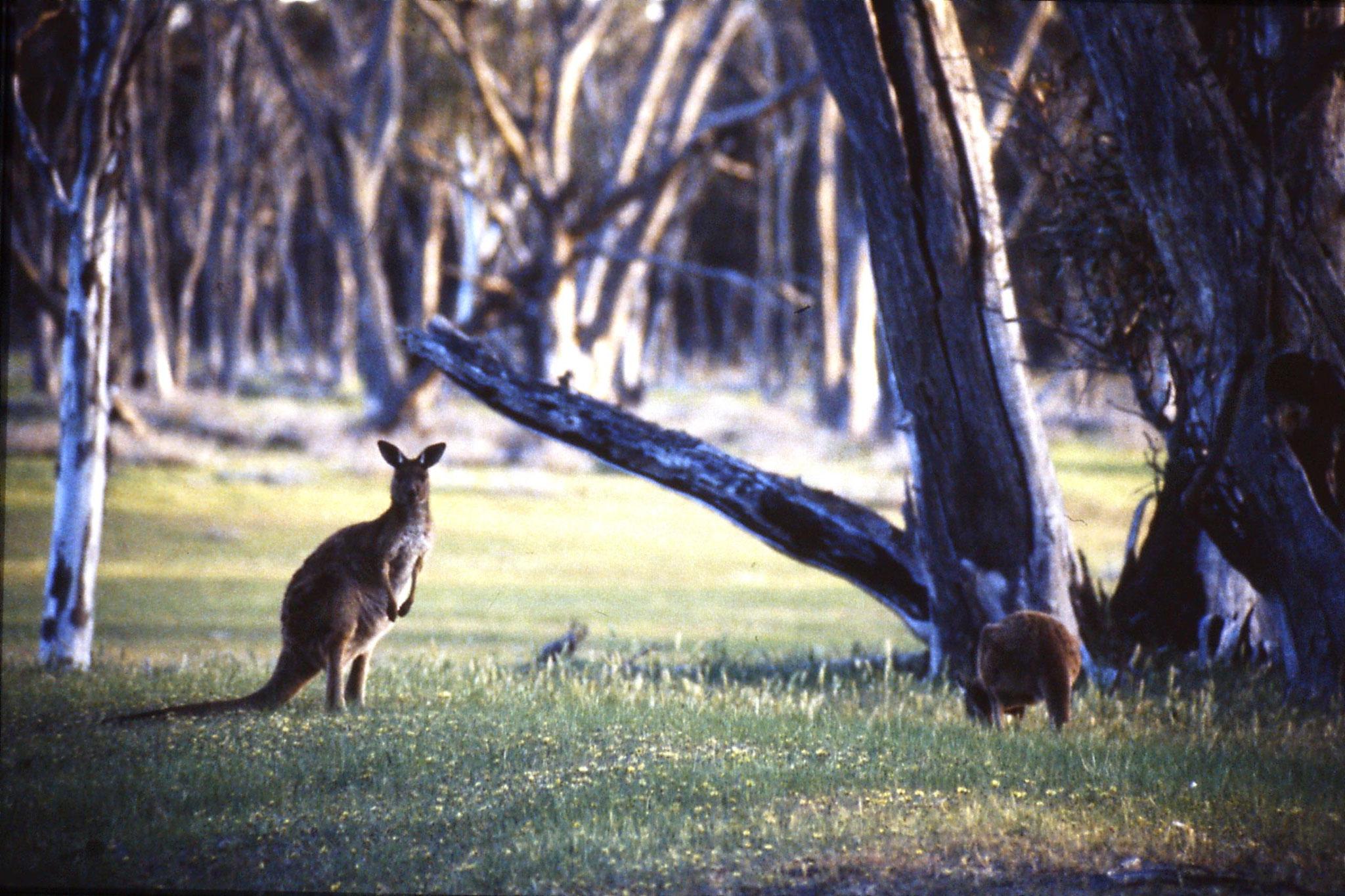 23/9/1990: 6: Western grey kangaroos