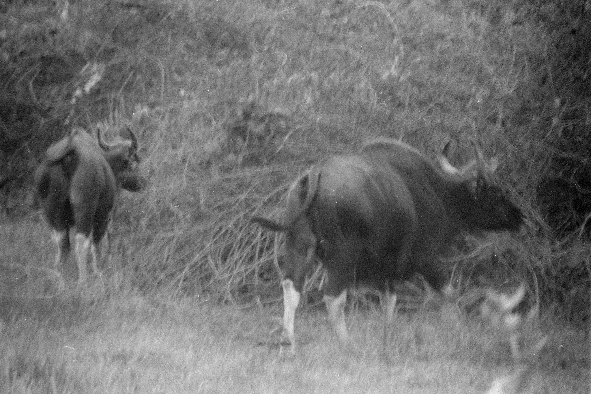 11/3/1990: 27: Nagarahole gaur