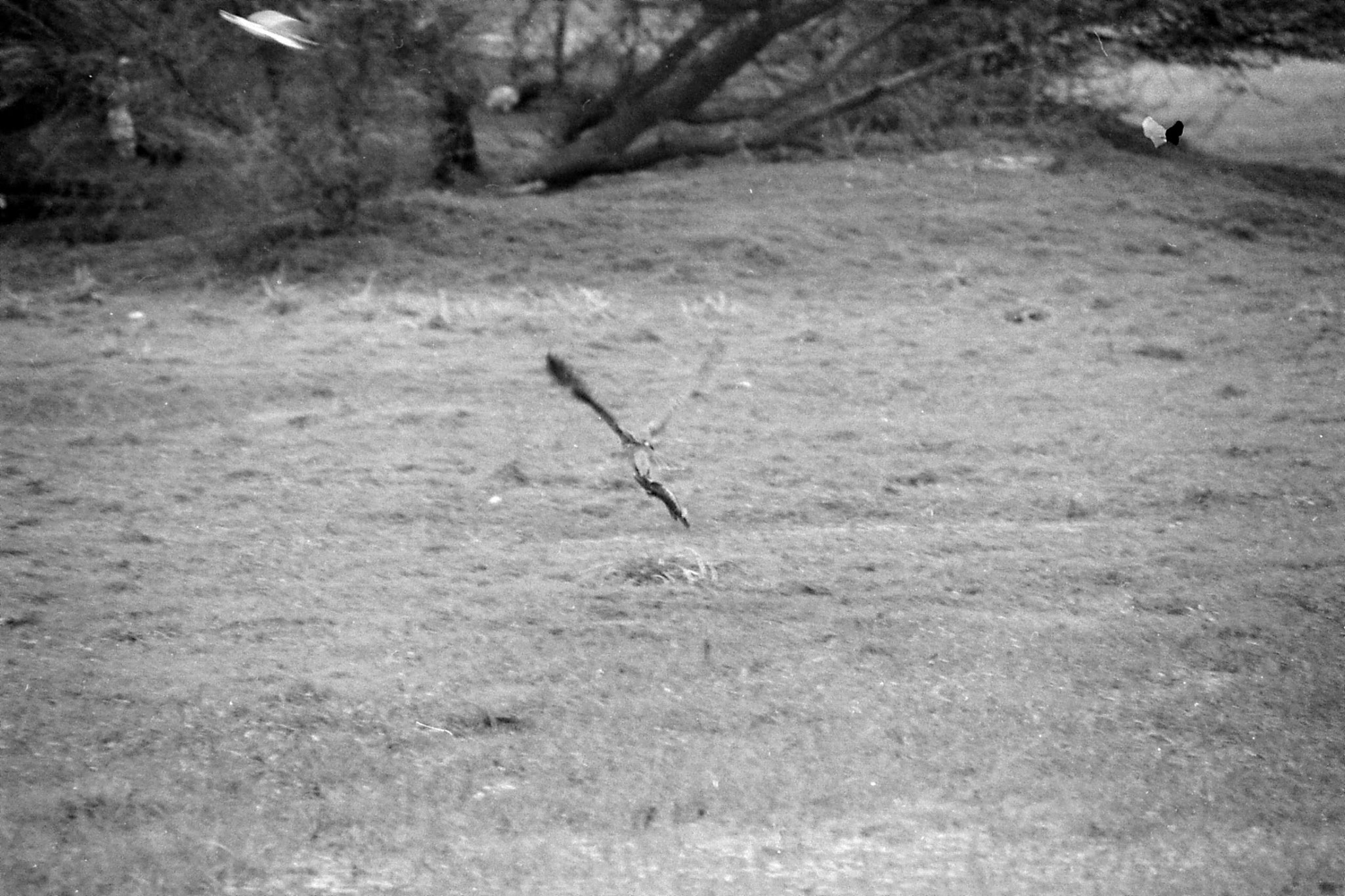 1/4/1990: 24: Bharatpur Grey headed fishing eagle