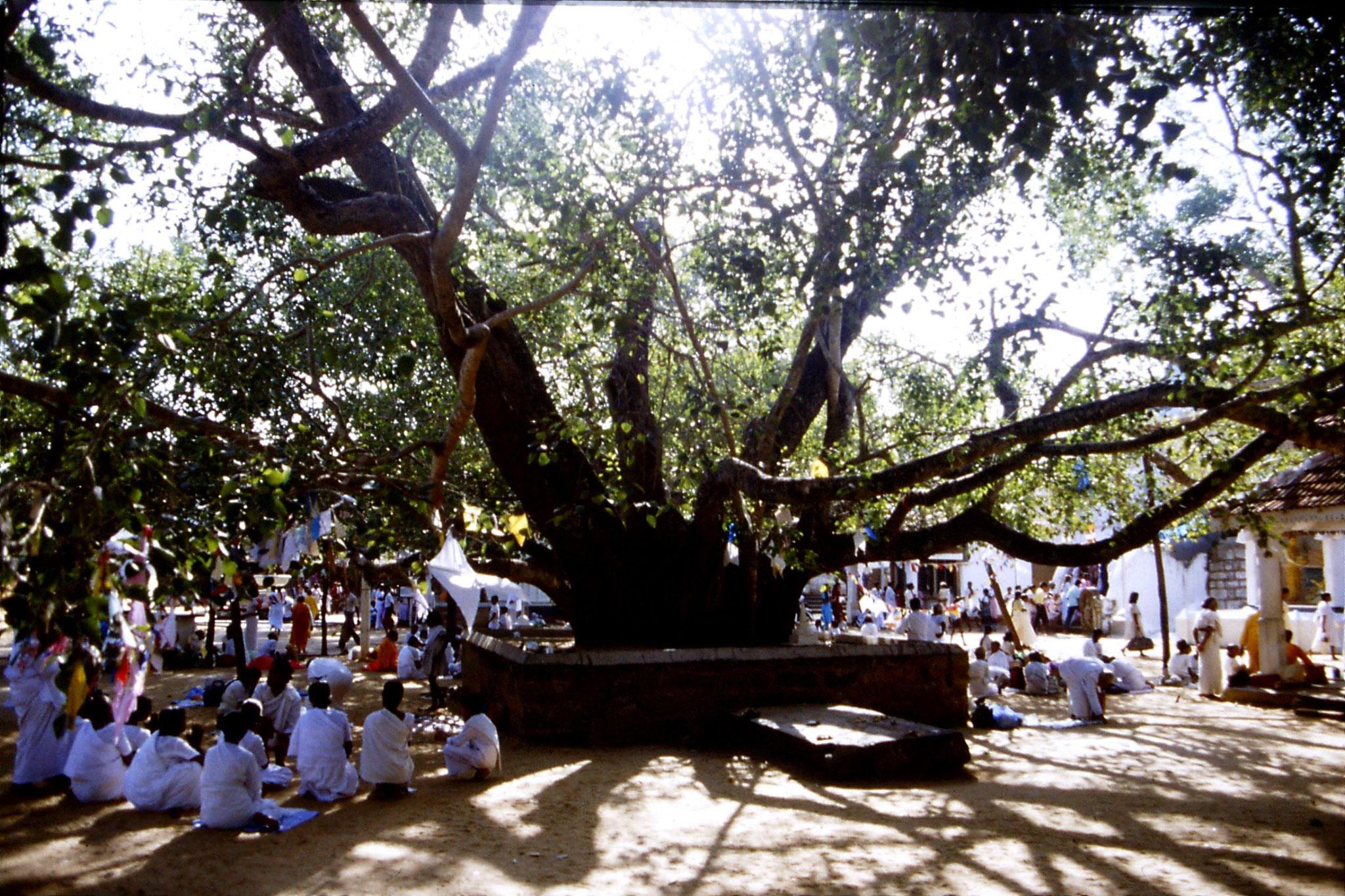 9/2/1990: 5: Anuradhapura, pilgrims under Bo tree