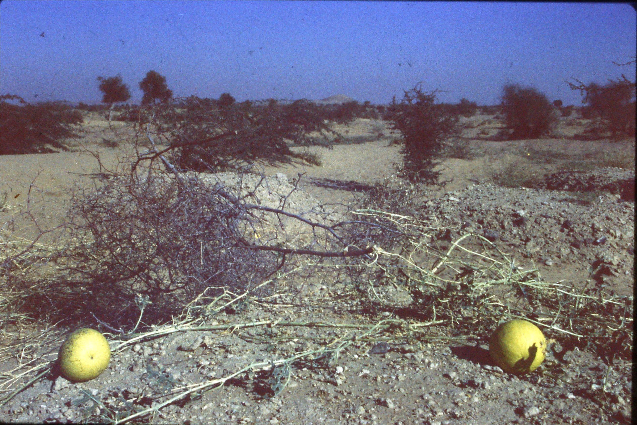 4/12/1989: 7: road to Barmer wild melons