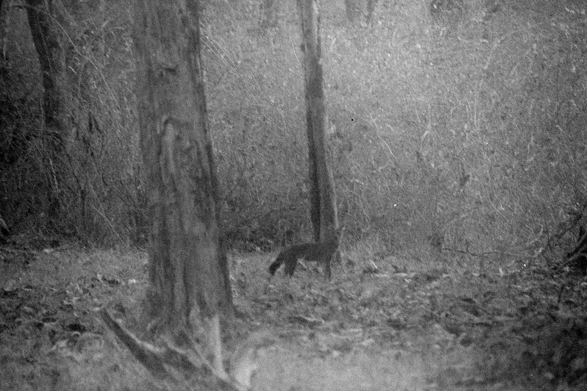 11/3/1990: 29: Nagarahole wild dog