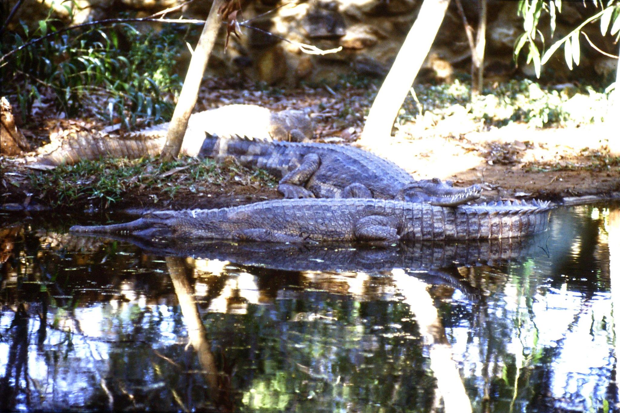 19/1/1990: 23: Madras crocodile park, Malaysian gharial
