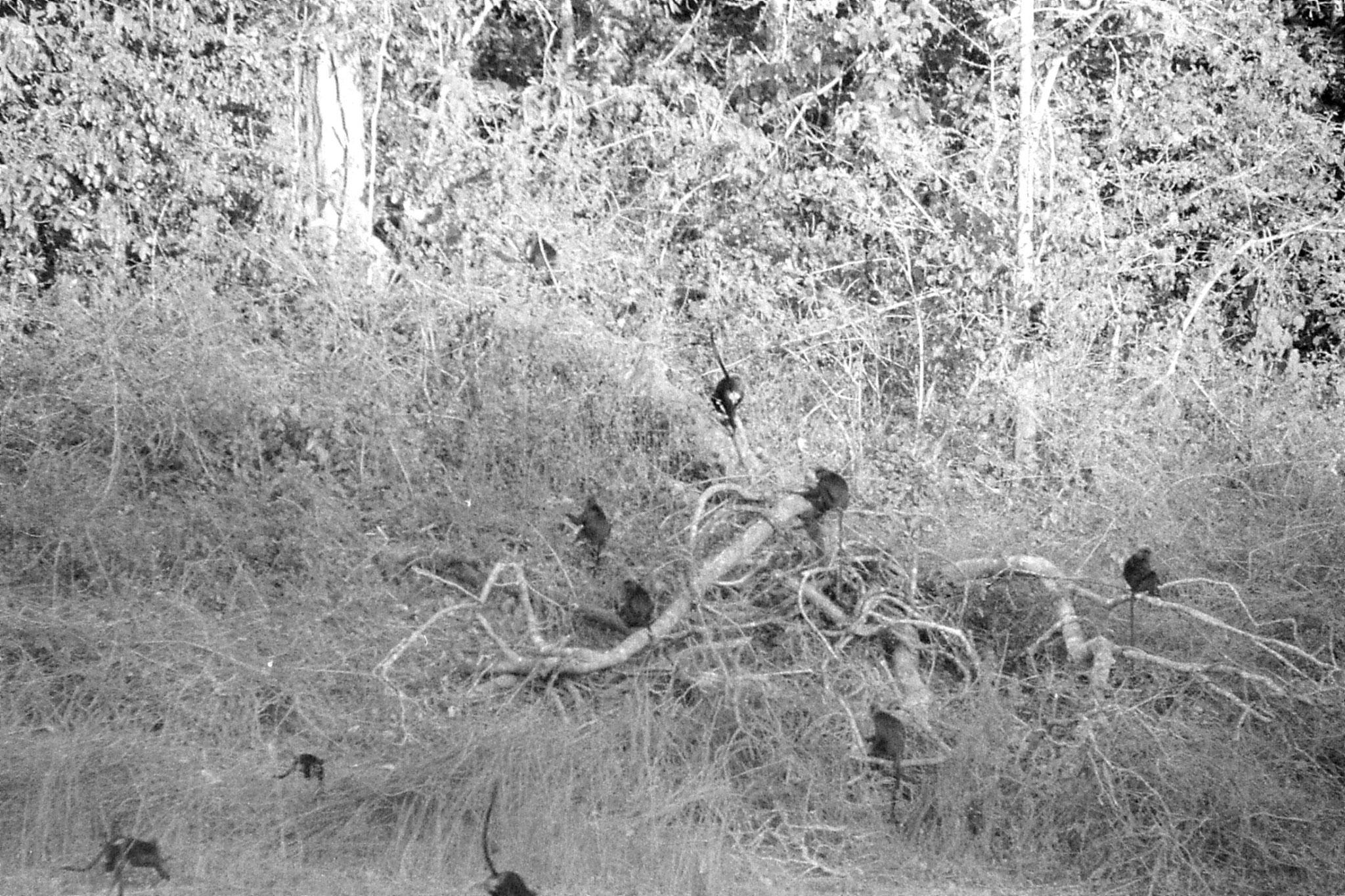 097/22: 22/2/1990 Periyars black langurs