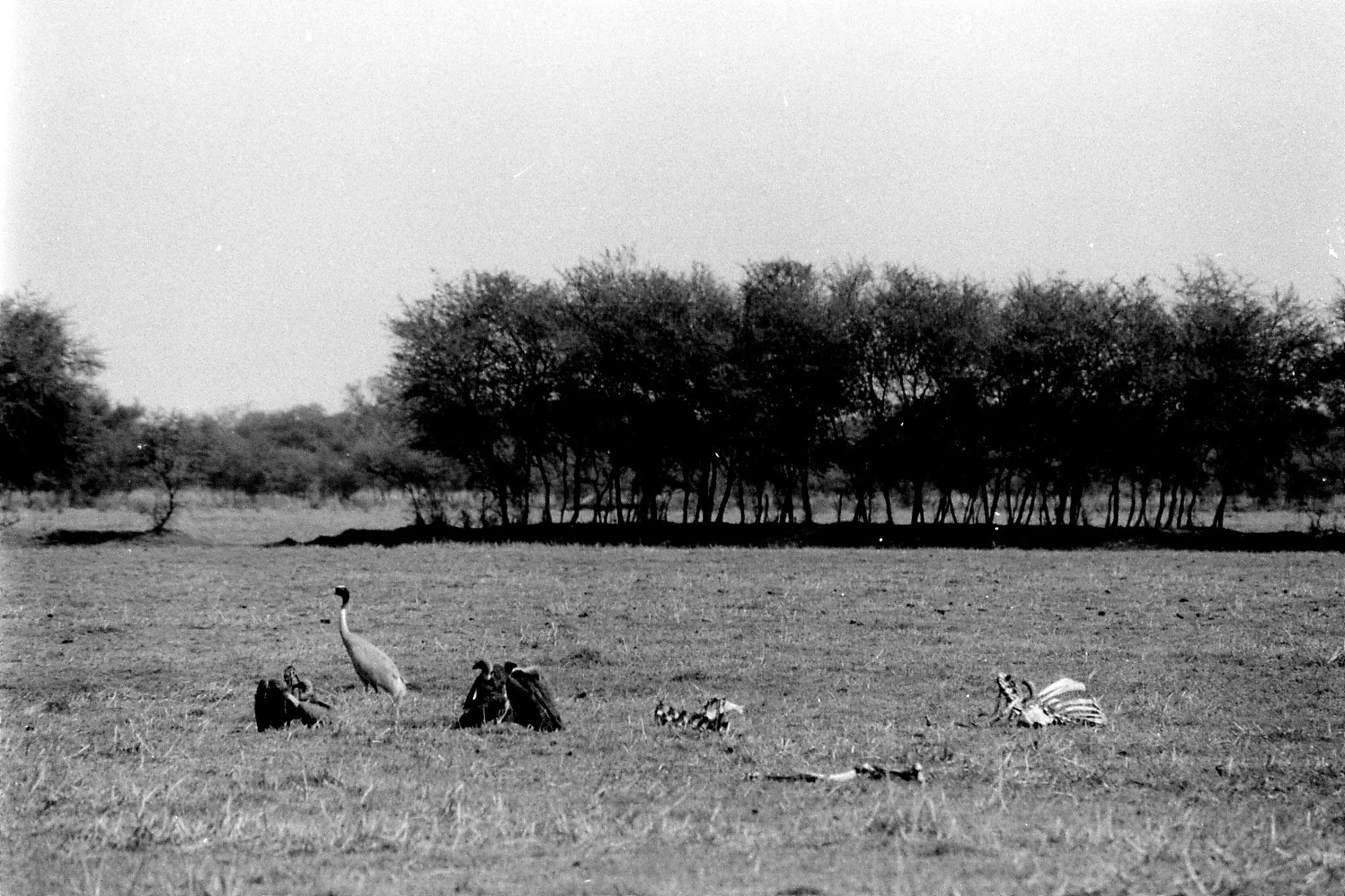 1/4/1990: 17: Bharatpur cranes, vultures and carcass