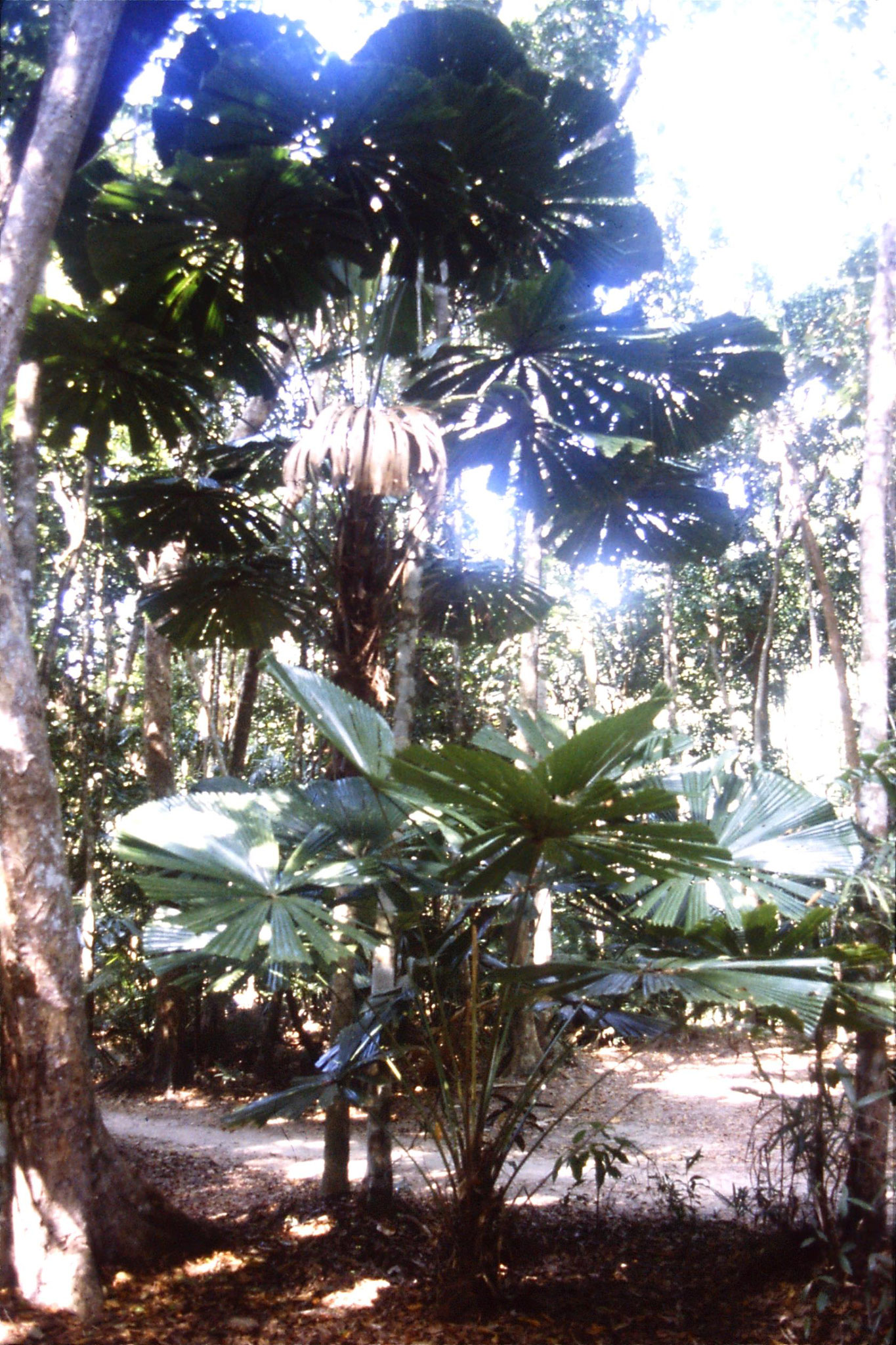 27/10/1990: 20: Cape Tribulation, fan palms