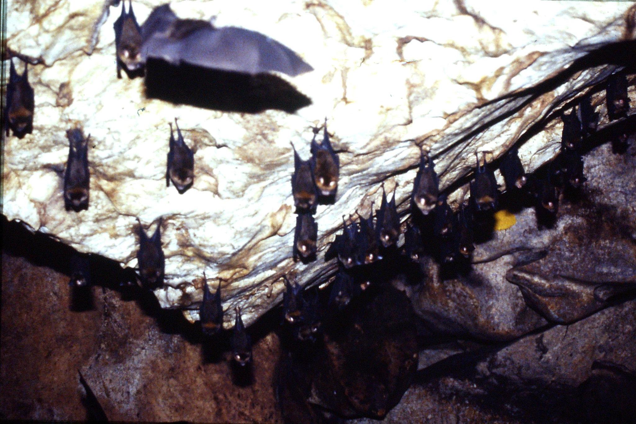 26/6/1990: 16: Tamen Negara bat cave