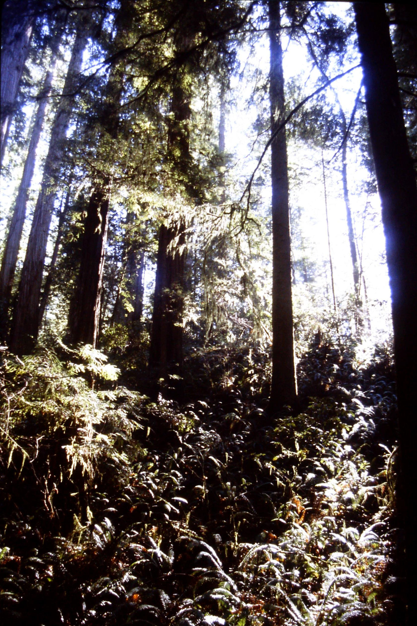 14/2/1991: 0: Jedediah Smith Redwood Park
