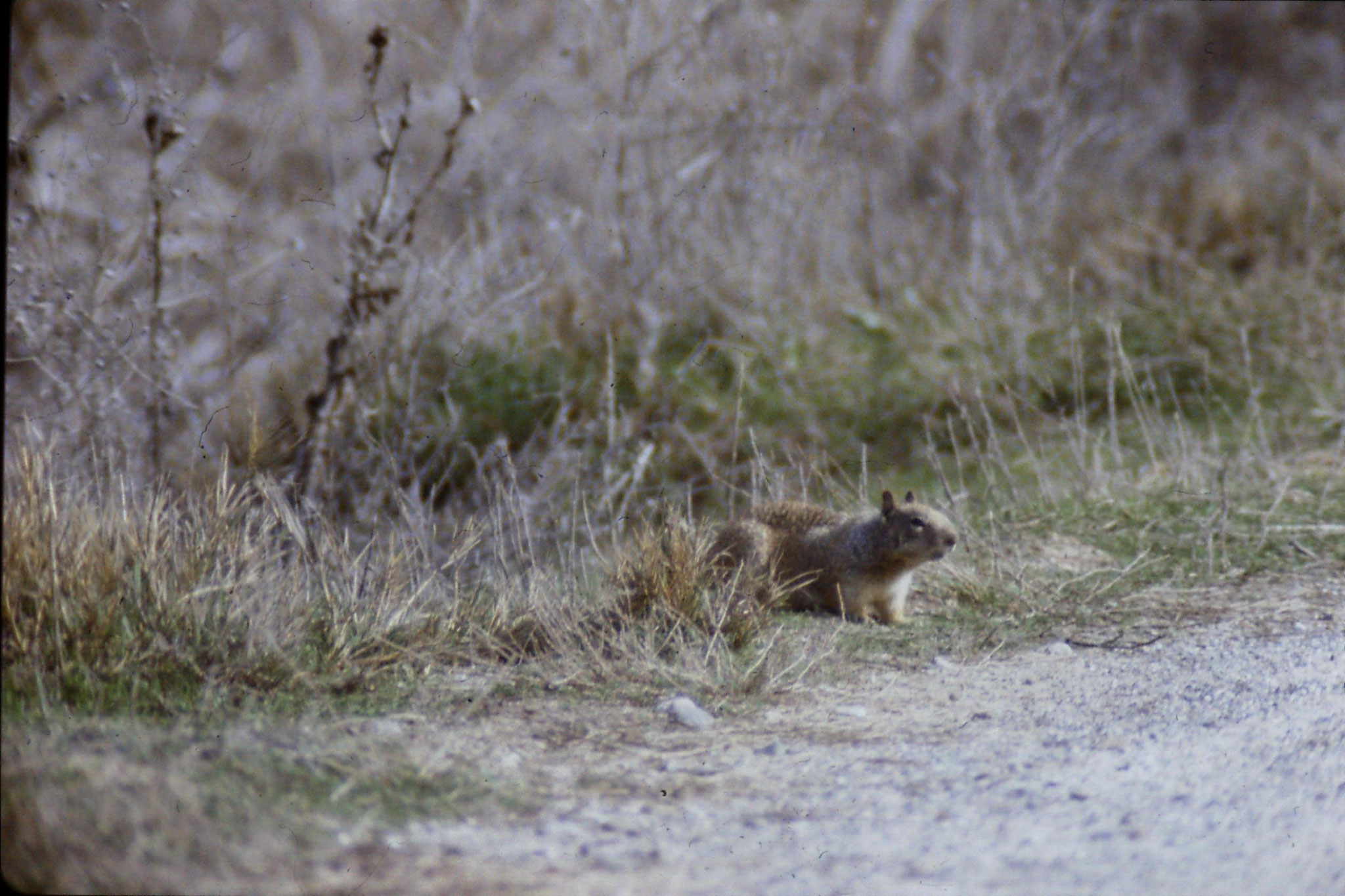 15/2/1991: 7: Sacramento NWR, Beechy Ground Squirrel