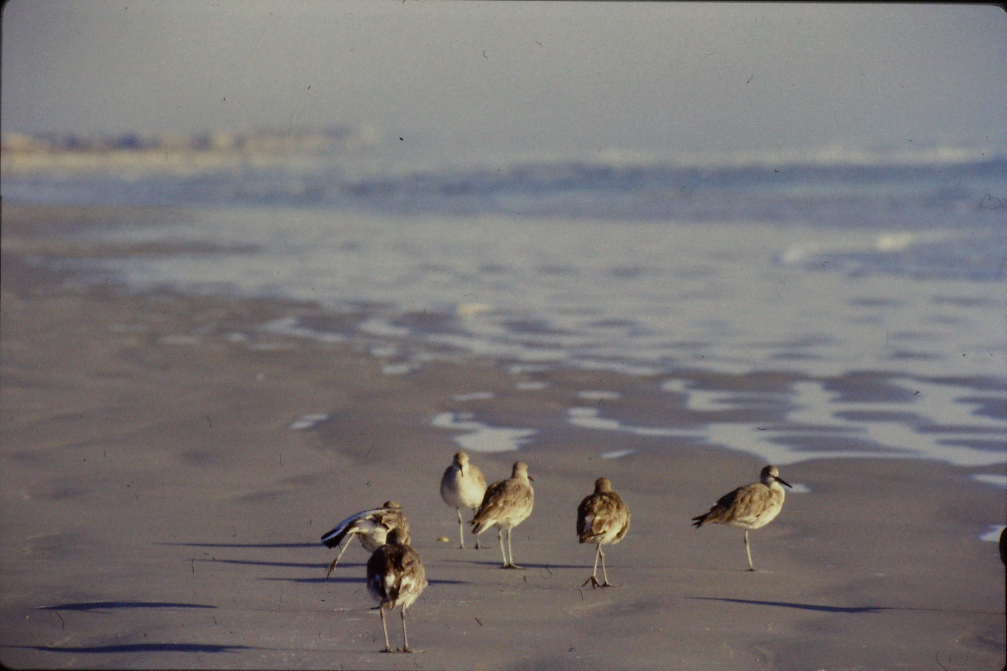 12/3/1991: 14: St Augustine Beach willets