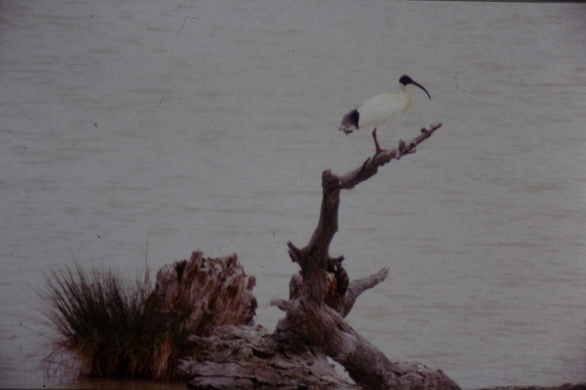 25/9/1990: 19: Kerang, ibis rookery