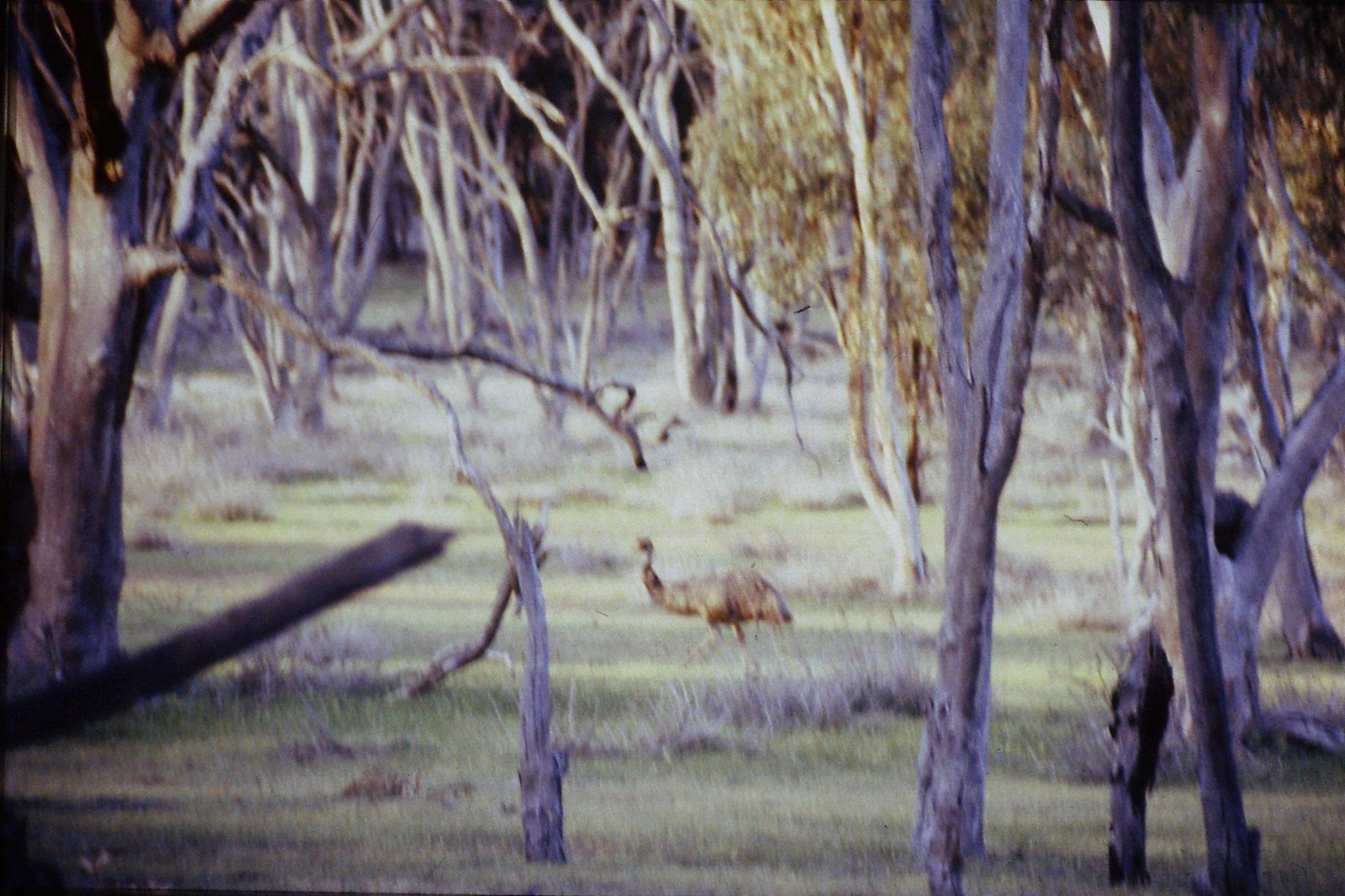 23/9/1990: 3: Wyperfeld, emu