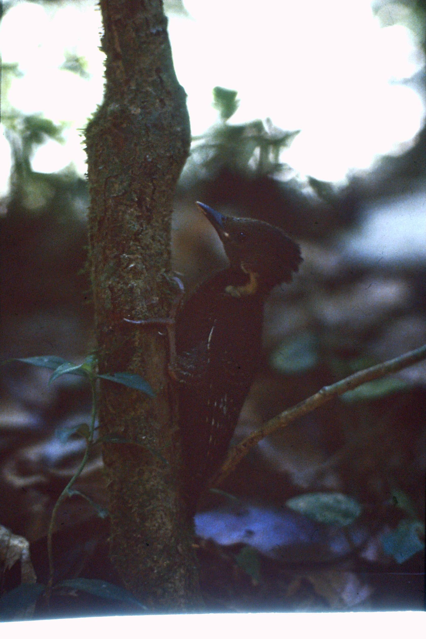 23/6/1990: 36: Tamen Negara woodpecker fledgling