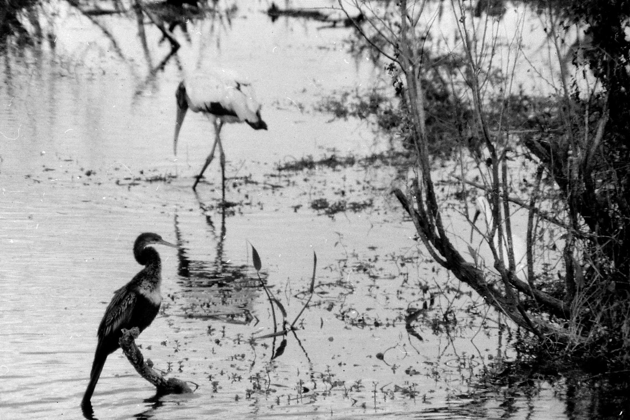 21/12/1990: 9: Everglades, anhinga