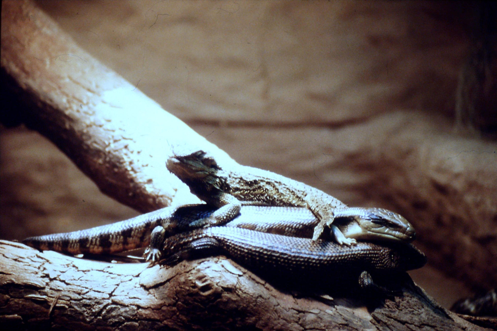 4/10/1990: 18: Healesville  Sanctuary, lizards