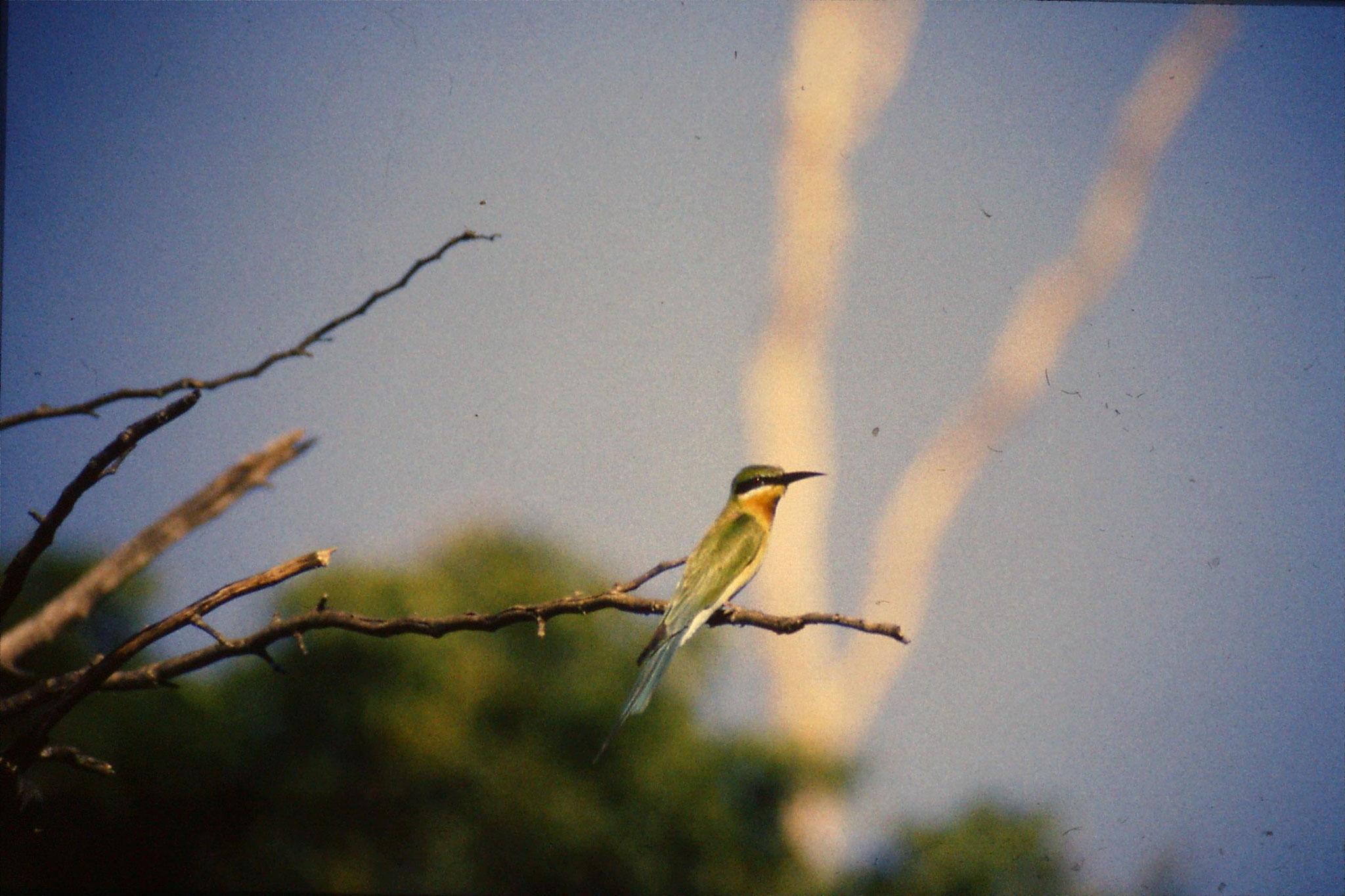 28/1/1989: 35: Uda Walawe Green Bee Eater