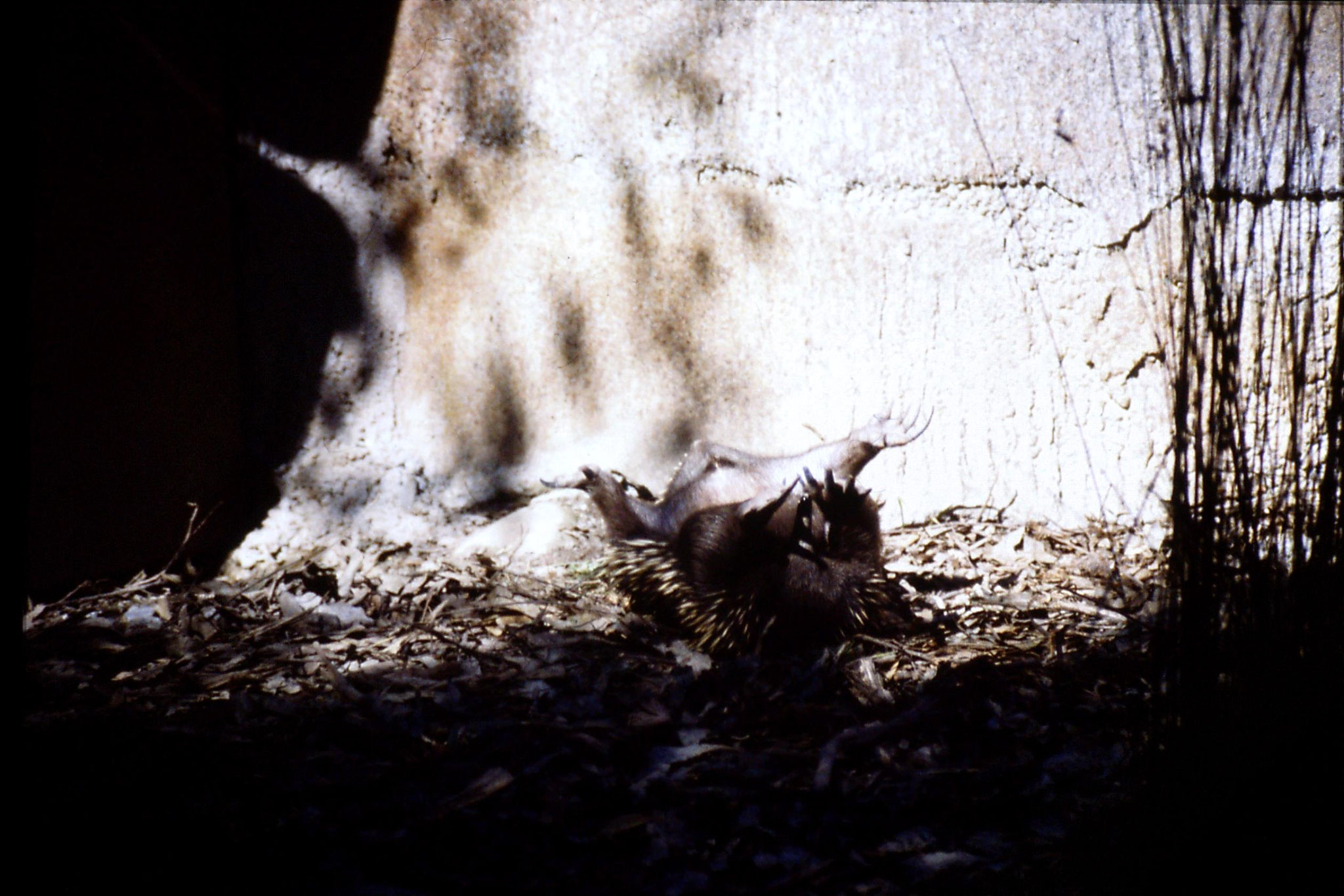4/10/1990: 15: Healesville  Sanctuary, echidna