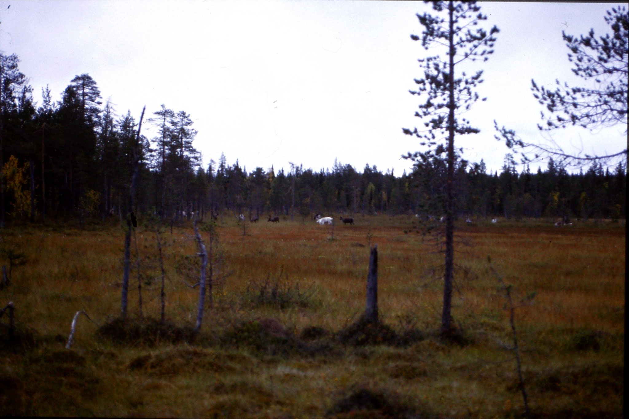 12/9/1988: 8: reindeer on road south from Jokkmokk
