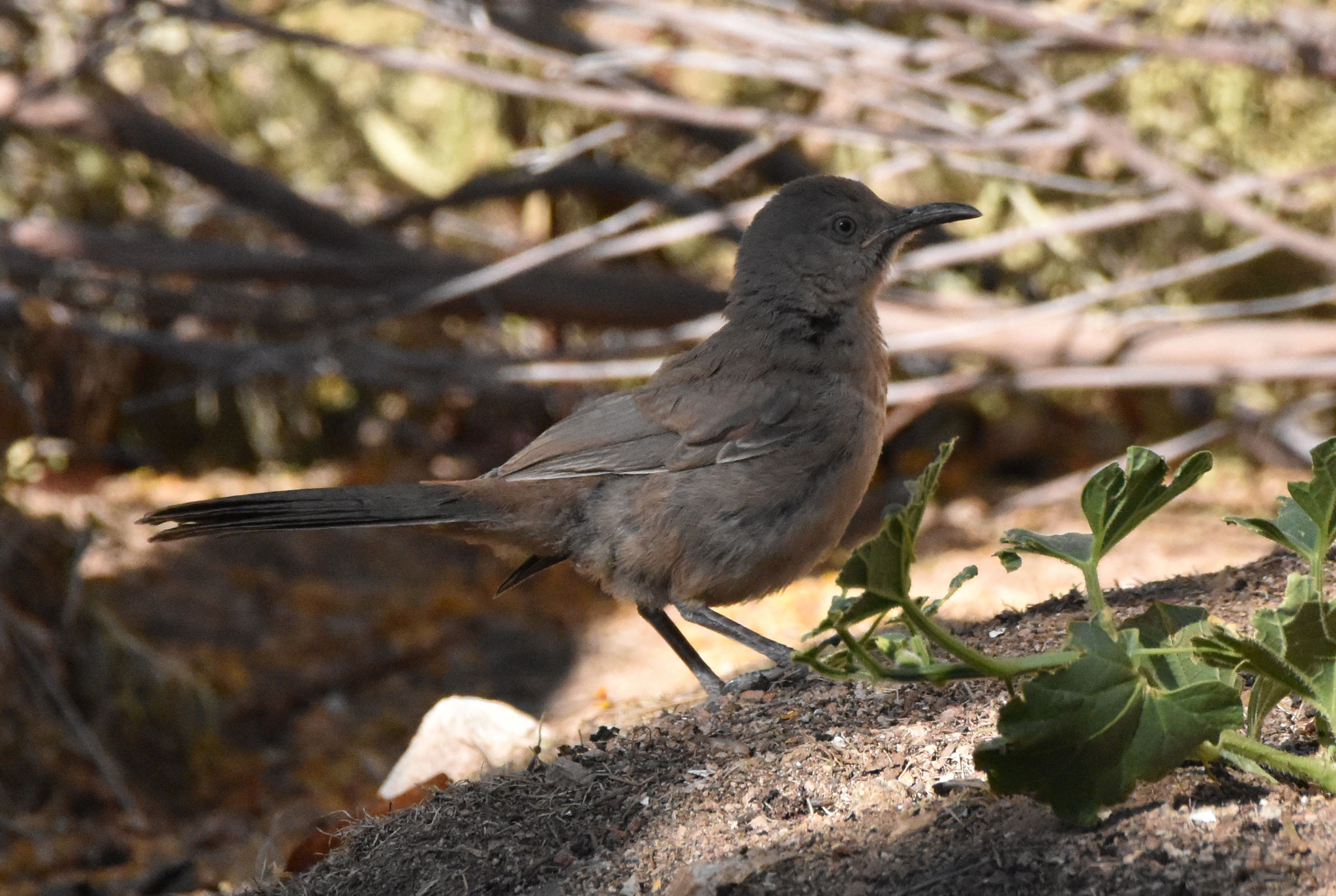 Curved billed Thrasher