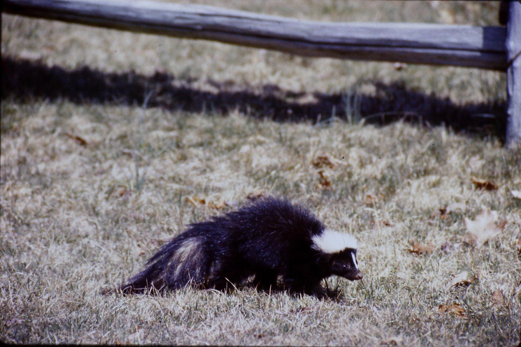 17/3/1991: 28: Benge Gap skunk