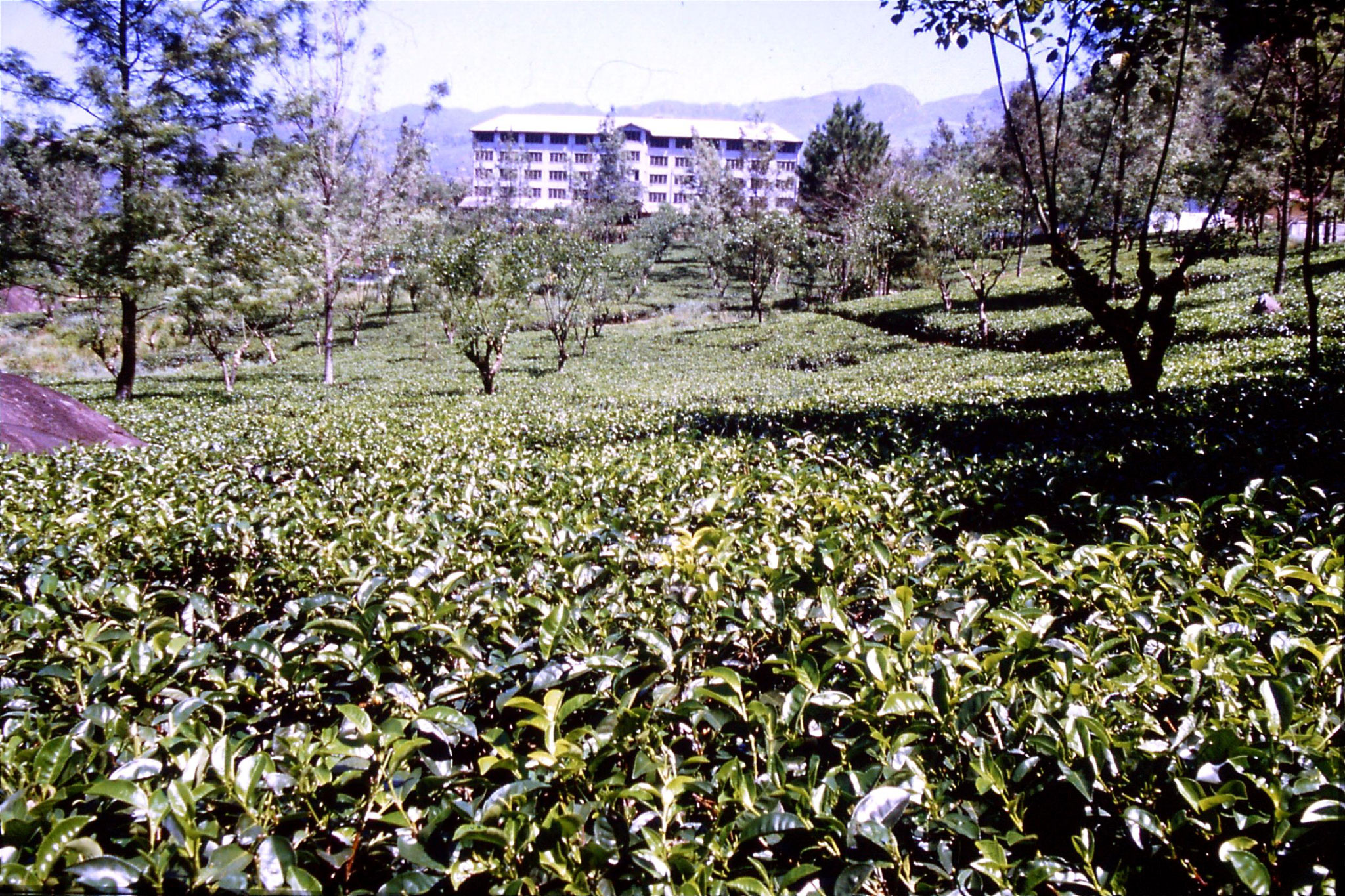 3/2/1990: 6: north of Nuwara Eliya, tea fields
