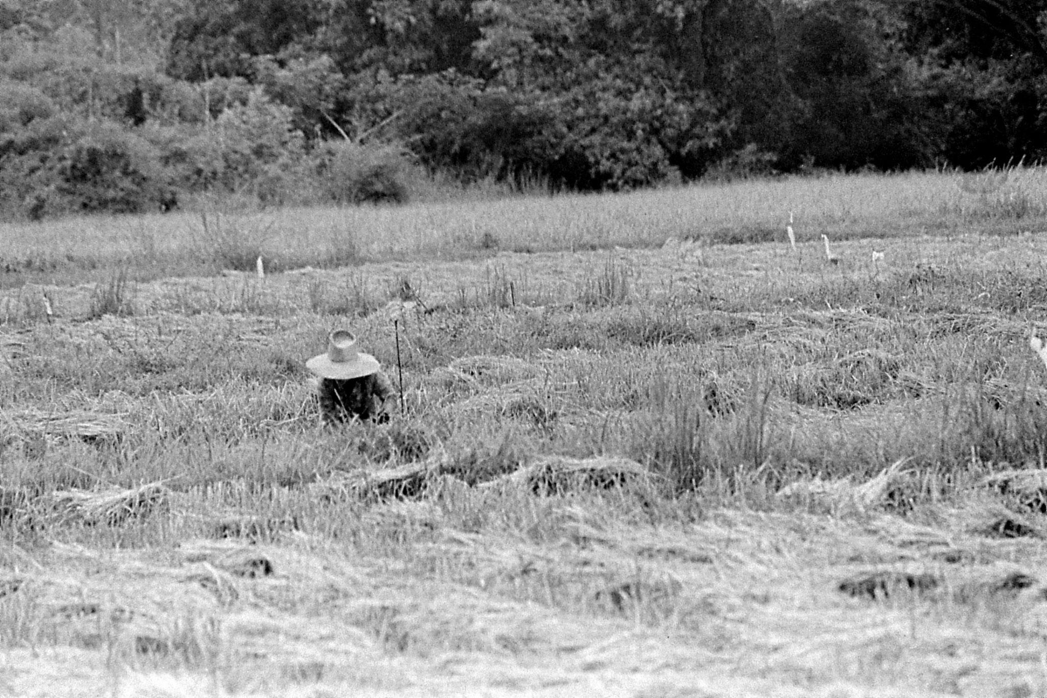 7/6/1990: 11: Manorom, rice harvest