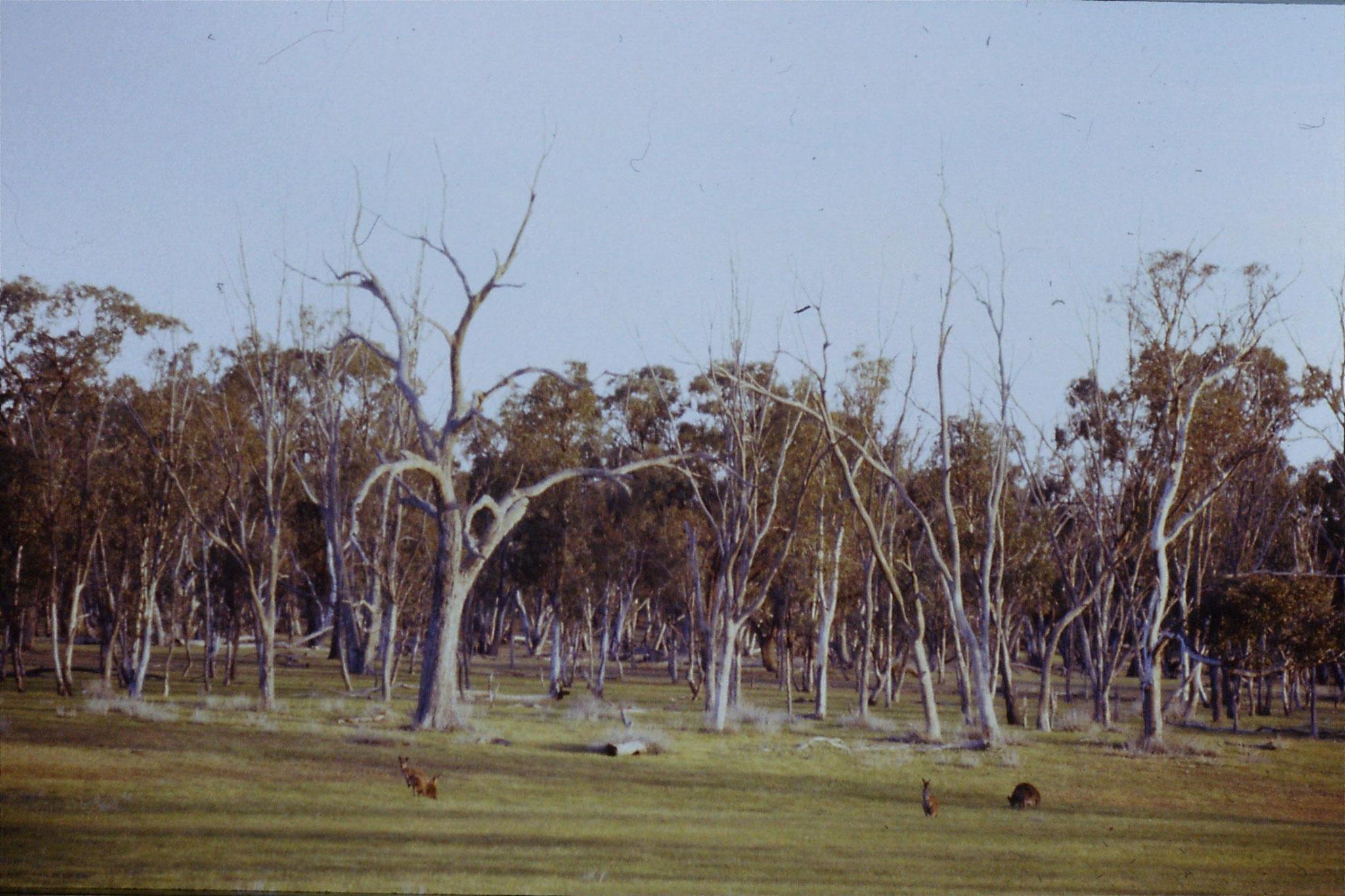 23/9/1990: 4: Western grey kangaroos