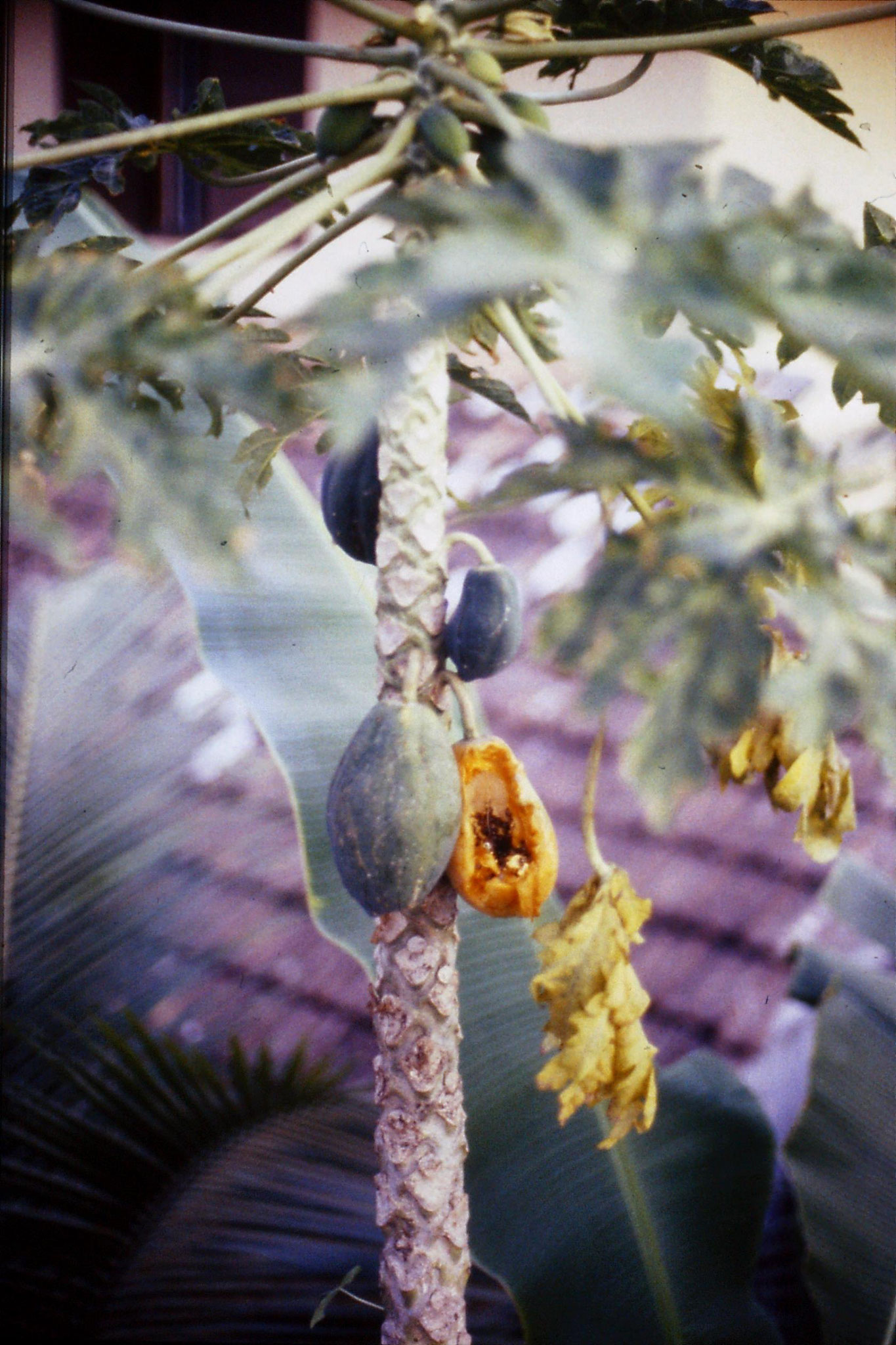 106/18: 24/2/1990 Erkunaculum - papaya tree