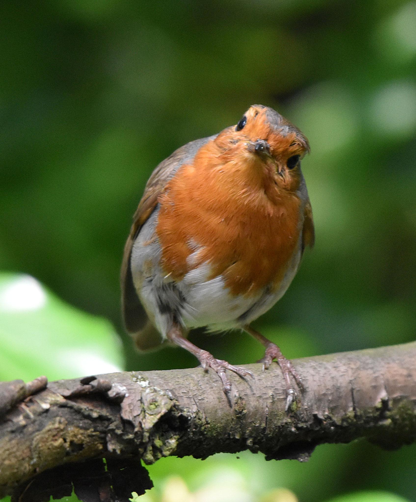 Robin at Cherry Hinton Park